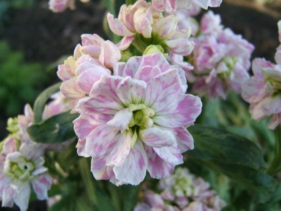 Alhelí, una de las flores de invierno más populares