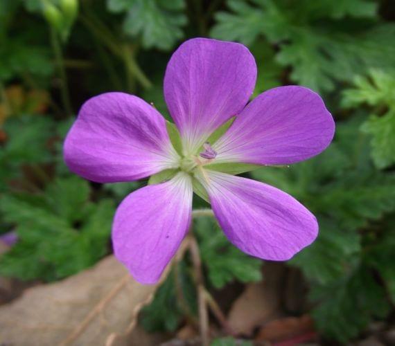 Geranium goldmanii