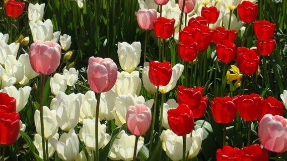 Grupo de tulipanes