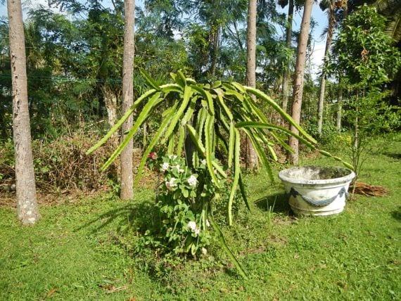 Pitahaya planta