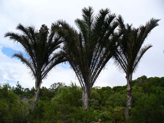Raphia australis