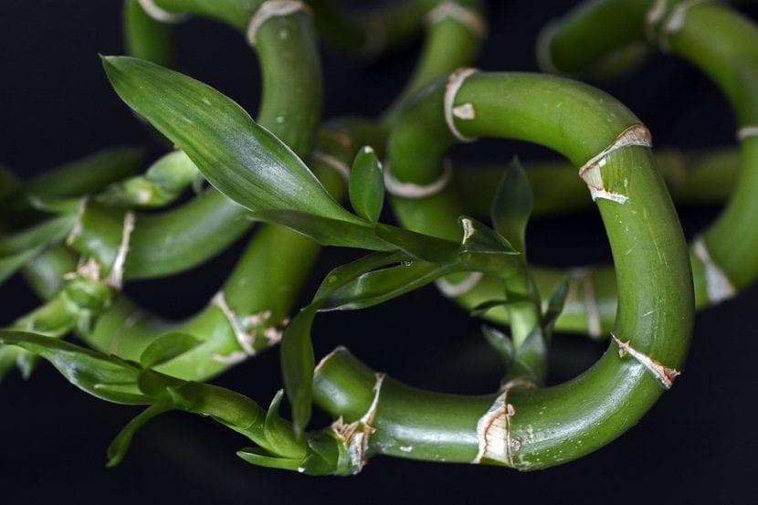 El bambú de la suerte es una planta de rápido crecimiento