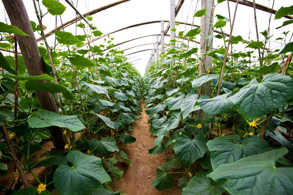 Cultiva pepinillos en tu huerto