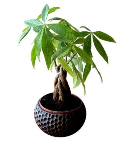 La Pachira es un árbol tropical