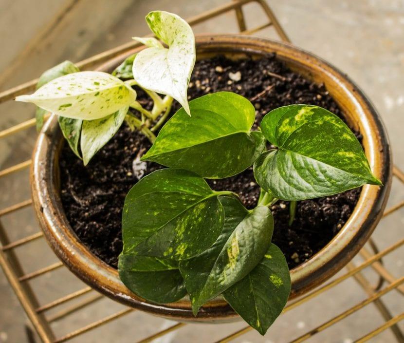 El potos es una planta trepadora fácil de cuidar