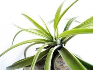 La tillandsia es una planta tropical