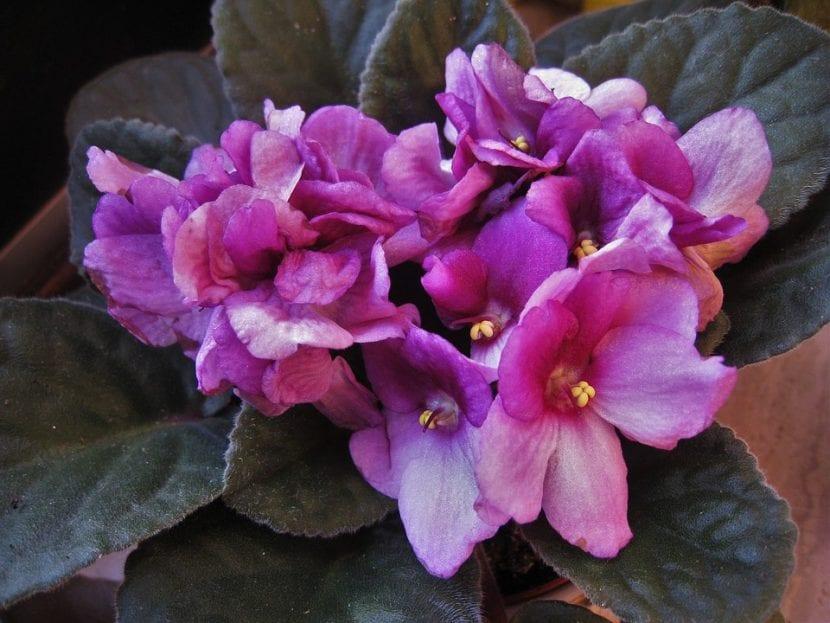La violeta africana es una planta sensible al exceso de riego