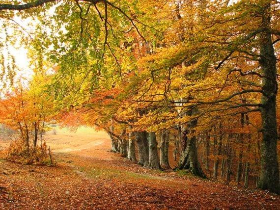 Bosque de hayas