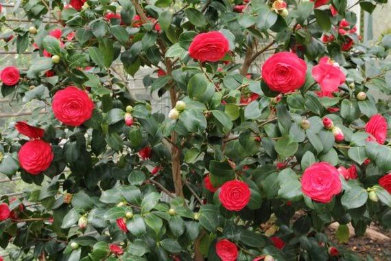 Camellia japonica roja