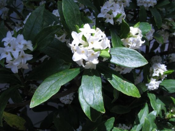 Daphne odora f alba