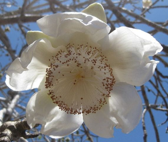 Flor de Baobab
