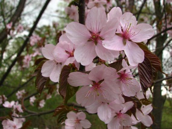 Flores Prunus sargentii