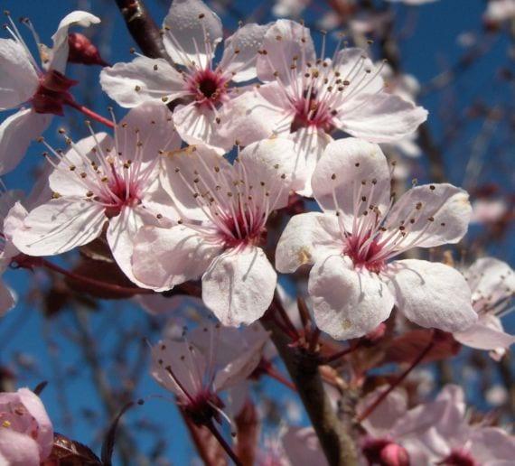 Prunus serrula v. tibetica