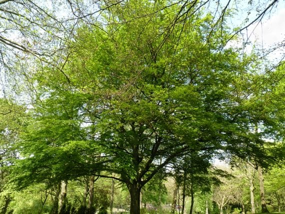 Conozcamos al haya un rbol majestuoso de origen europeo for Arboles de hoja perenne para clima frio