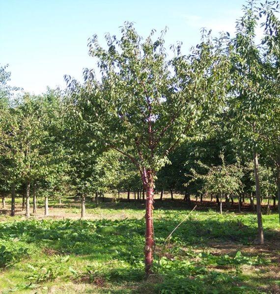 Prunus serrula tibetica