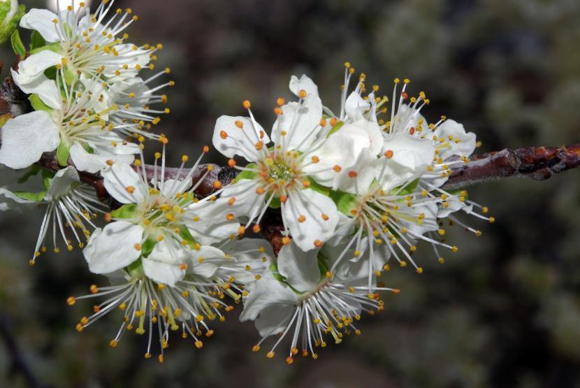 Flores Prunus domestica