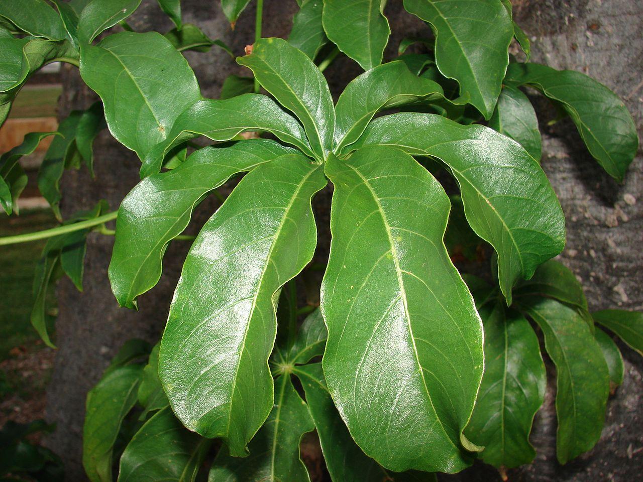 Las hojas del baobab son grandes