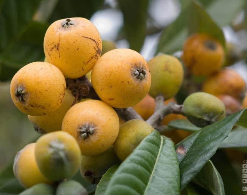 consejos para tener árboles frutales en macetas espléndidos