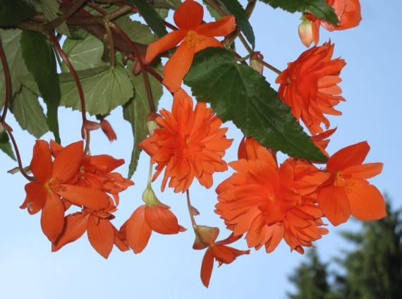 Begonia pendula
