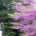 Cercis siliquastrum en un jardín