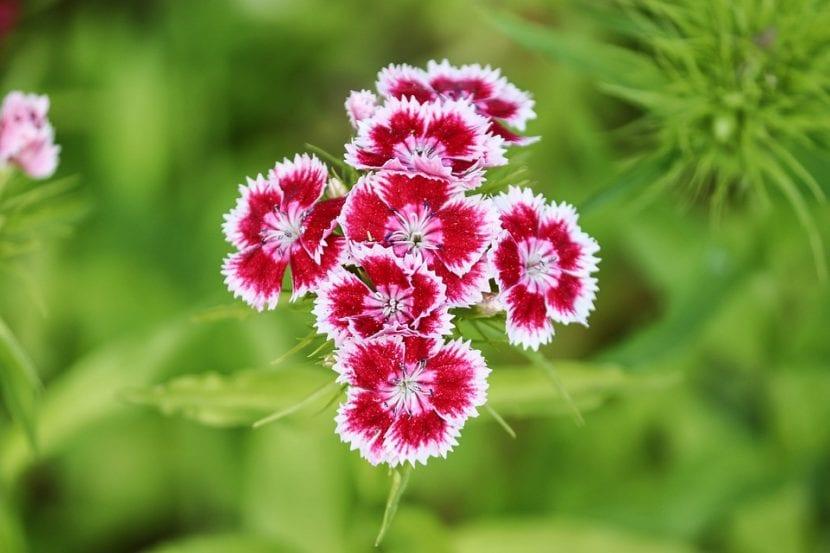 Los claveles son plantas pequeñas