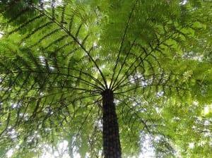 Helecho arbóreo