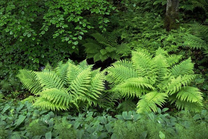 Los helechos son plantas de sombra
