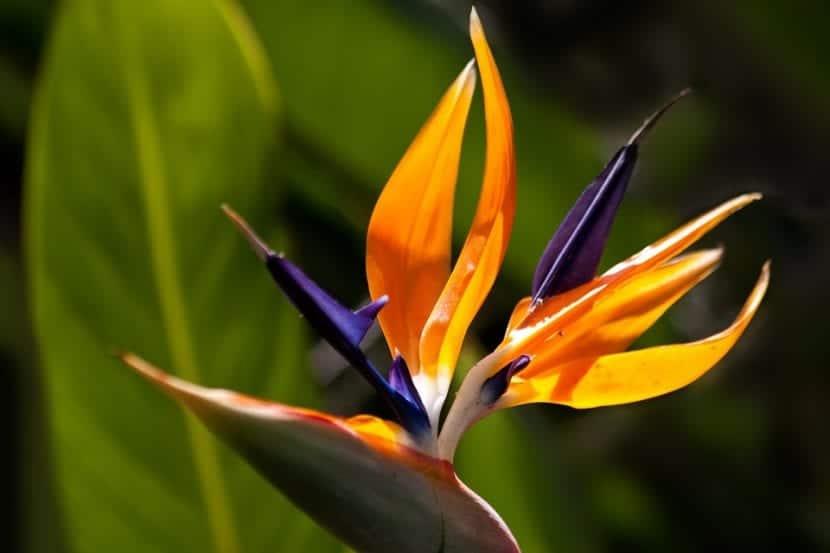 Las Strelitzia son herbáceas muy decorativas