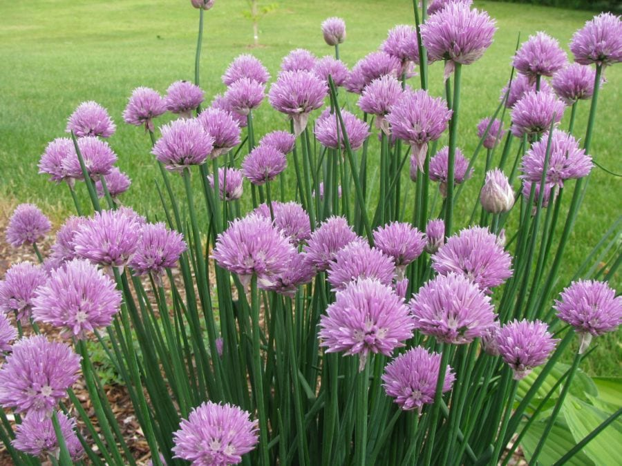 Cebollín, una planta fácil de cultivar