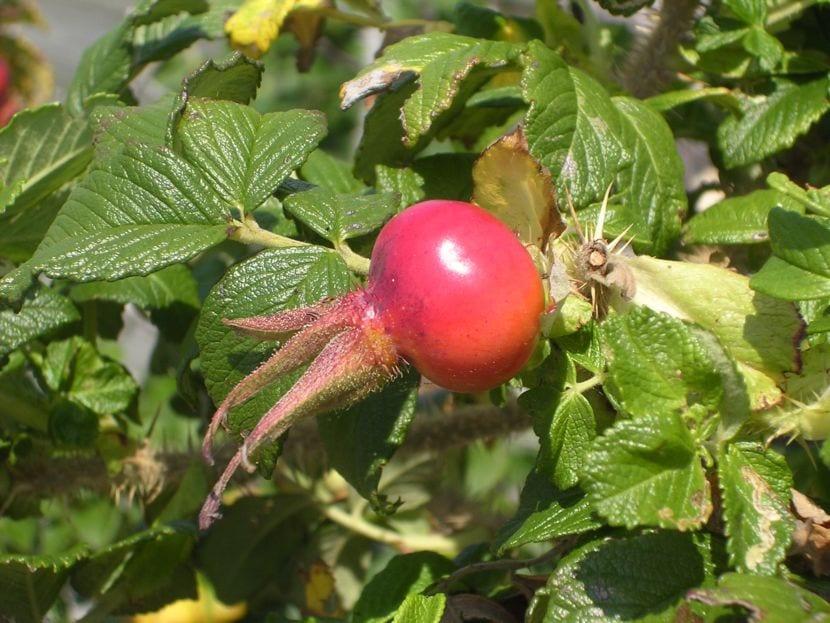 Fruto de la Rosa rugosa