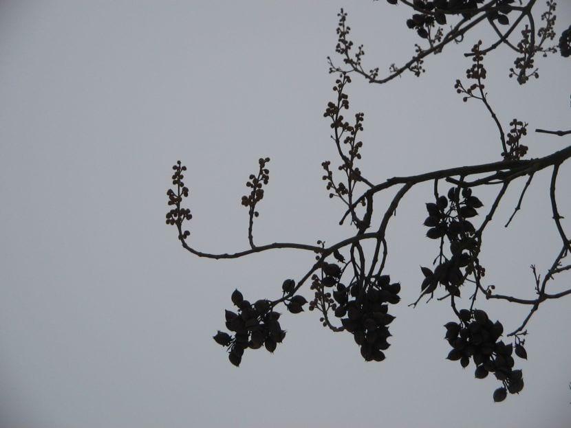Pawlonia tomentosa en invierno