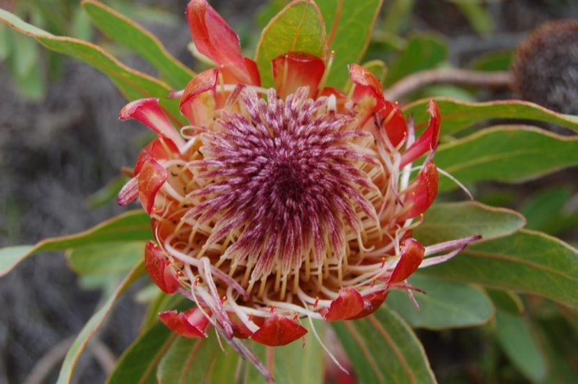 Protea de Sudáfrica