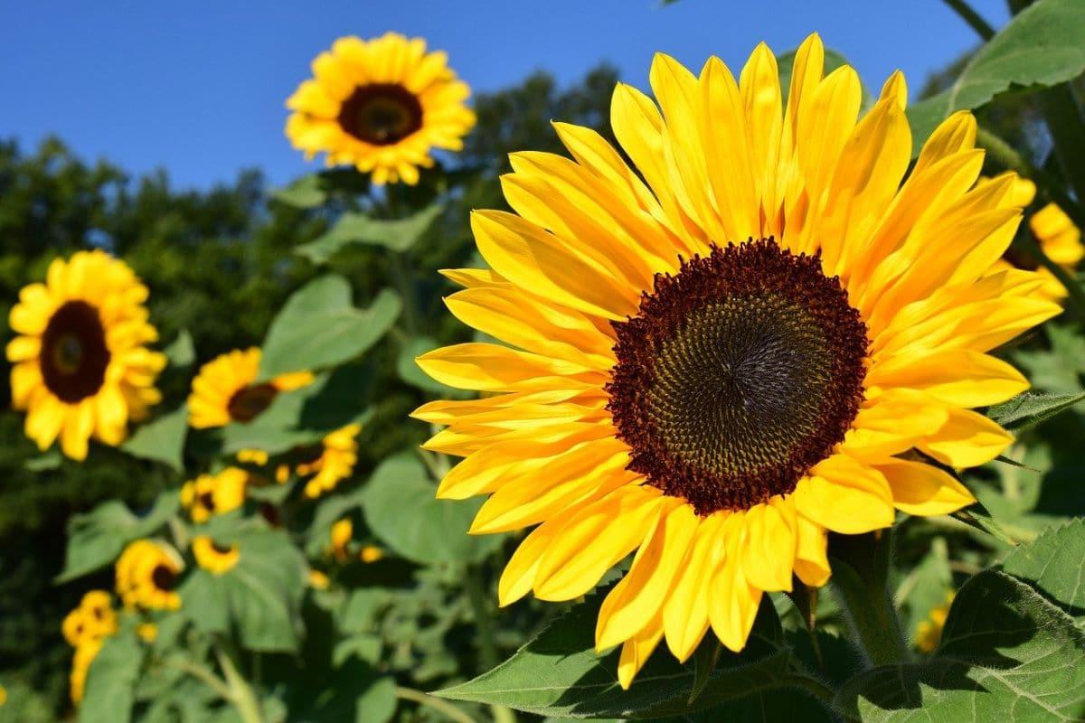 El girasol amarillo es una hierba anual