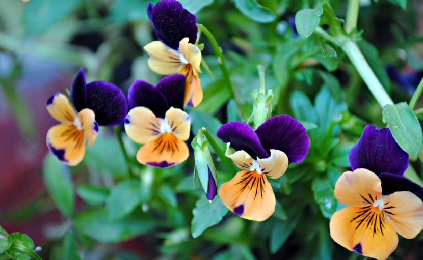 Pensamientos, flores coloridas para tener en el jardín o balcón