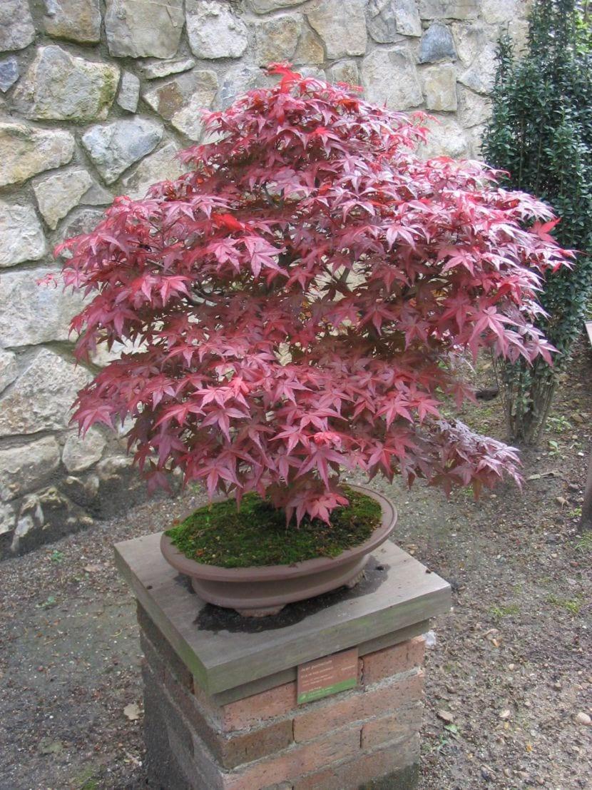 Algunas especies m s utilizadas y recomendadas para bons i for Arbustos para patios