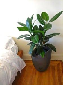 Ficus elastica en dormitorio