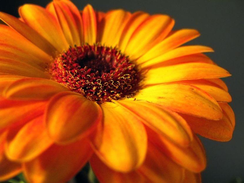 Gerbera de flor naranja