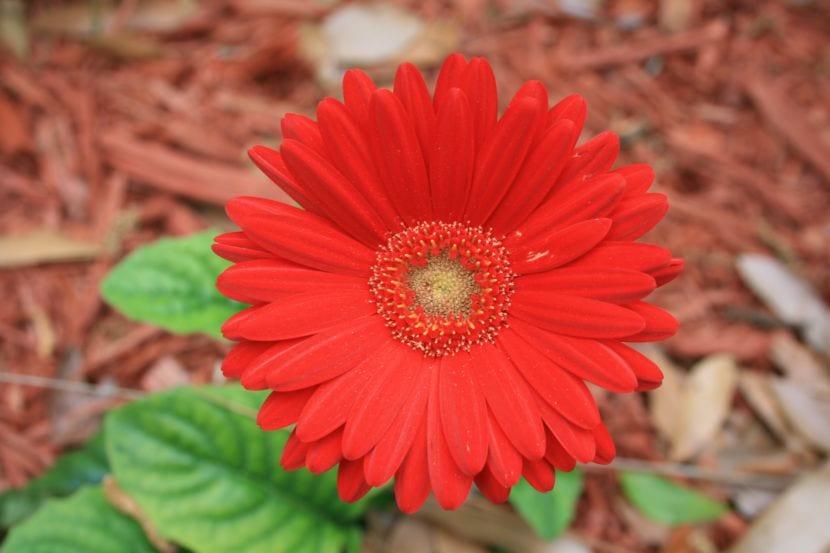 Gerbera de flor roja