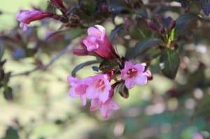 Flores de Weigela