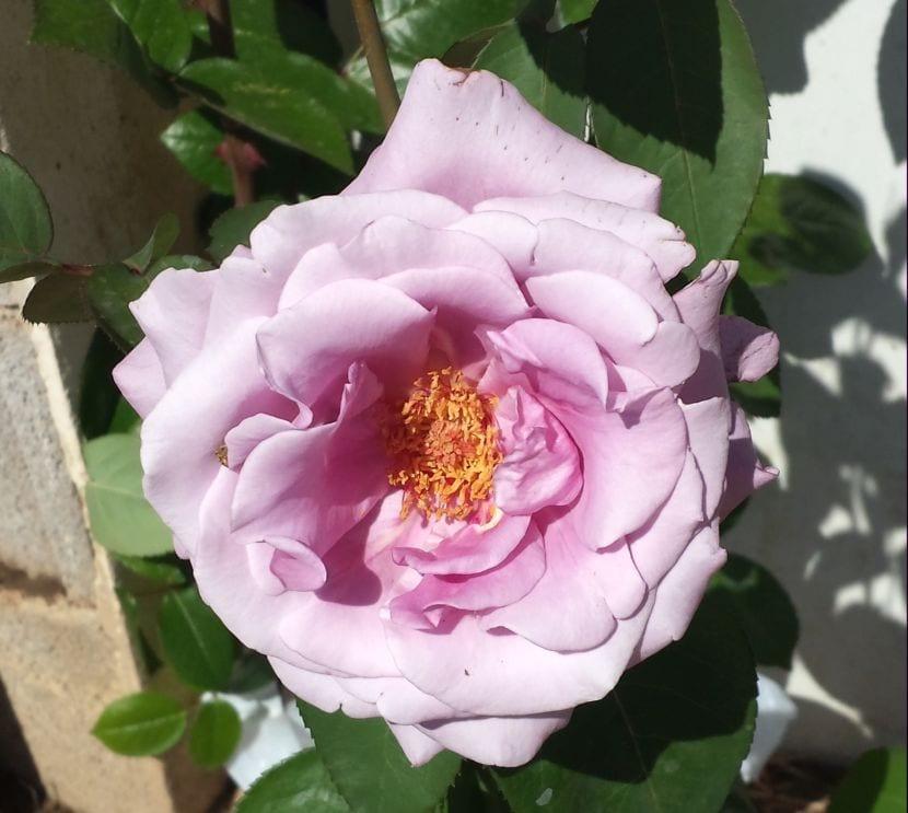 Rosal rosa