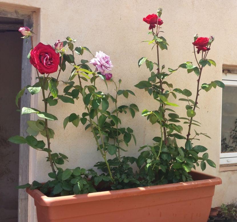 Rosales plantados