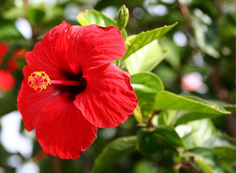 Hibiscus flor roja