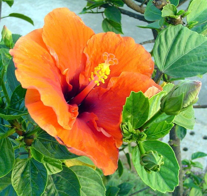 Hibiscus flor naranja
