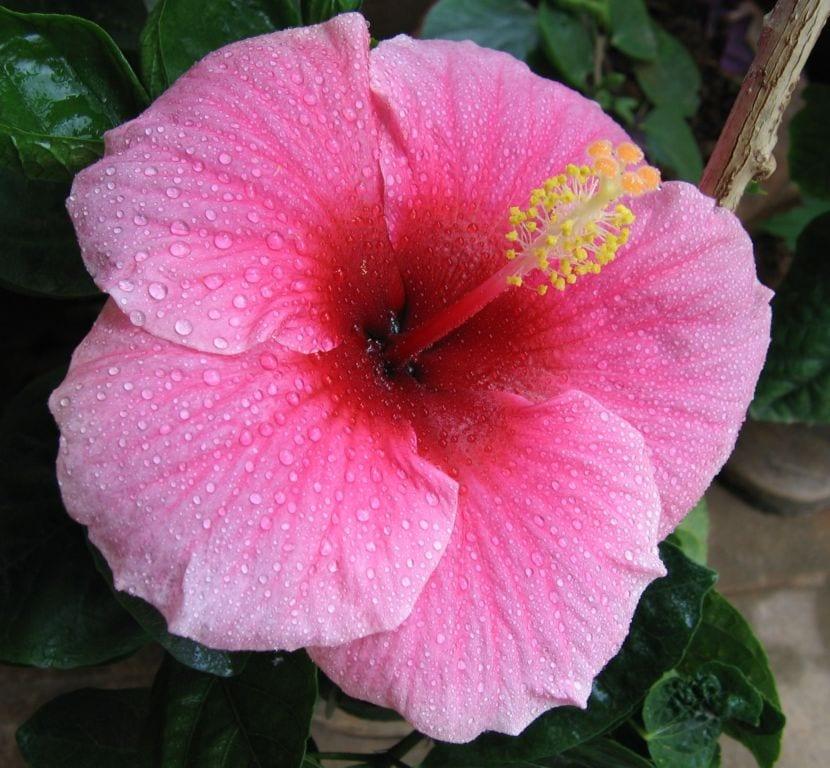 Hibiscus flor rosa