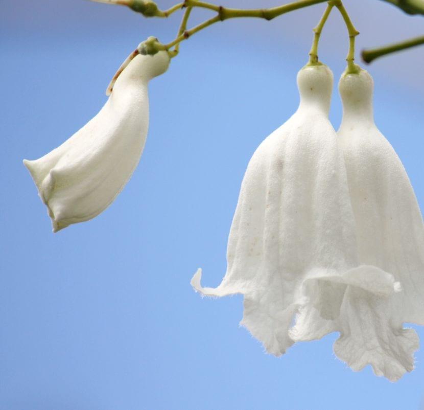 Jacaranda mimosifolia White Christmas