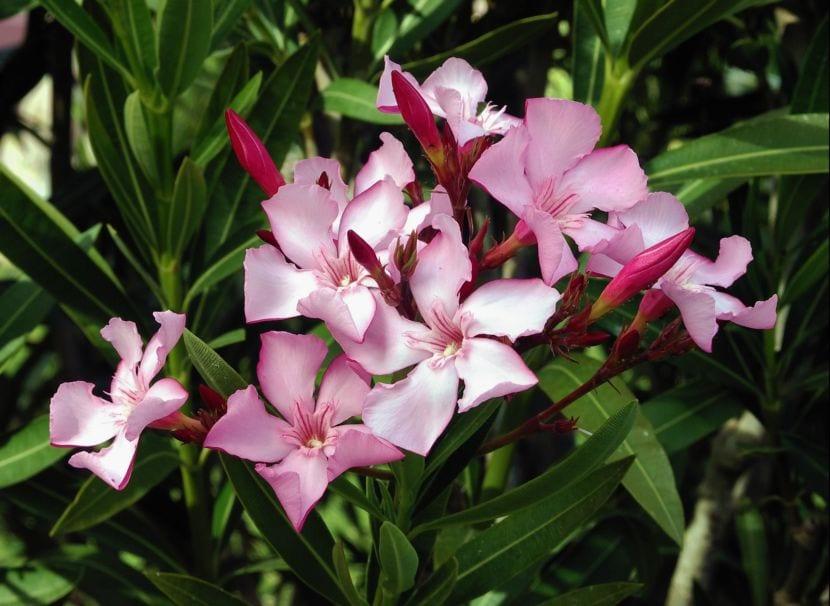 Algunas Plantas Que Pueden Ser Perjudiciales Para La Salud