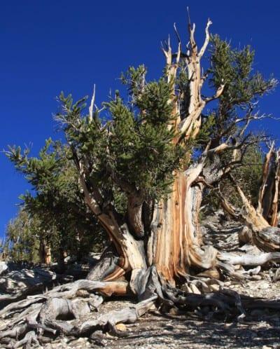 Ejemplar de Pinus longaeva