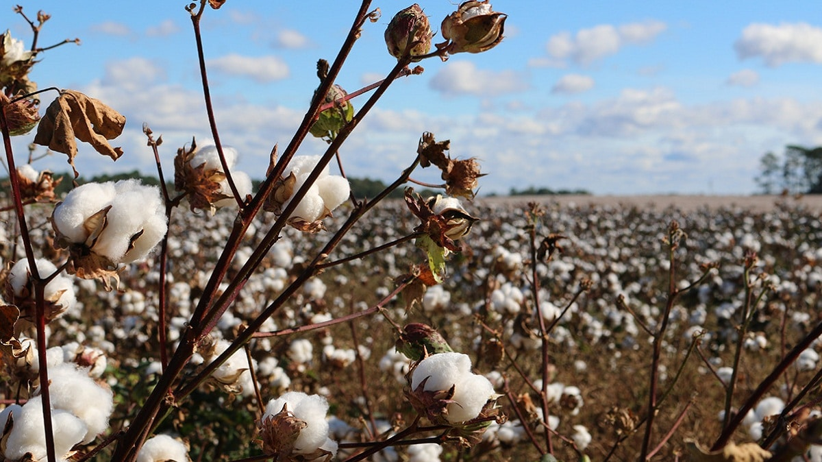El cultivo del algodón no es difícil