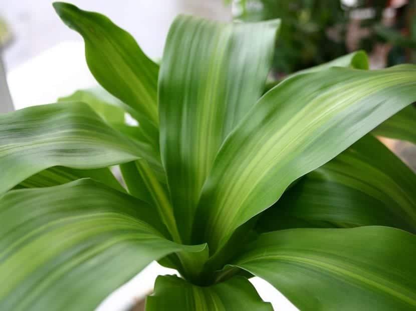 Consejos para cuidar el palo de agua o palo de brasil - Plantas de interior grandes ...