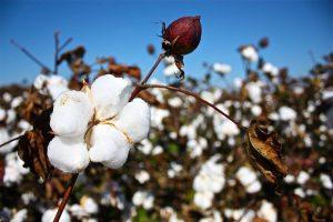 El algodón es una planta muy cultivada